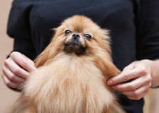 Funny fluffy Pomeranian Stock Photos