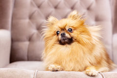 Funny and fluffy pomeranian Royalty Free Stock Photography