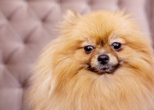 Funny and fluffy pomeranian Stock Images