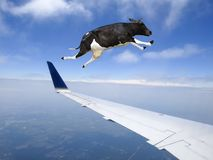 Funny Flying Cow, Plane, Travel. A funny flying cow is in the sky and buzzing a jet airplane. The travel farm animal is having fun royalty free stock image
