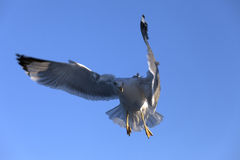 Funny flying seagull at blue clear sky Royalty Free Stock Photo