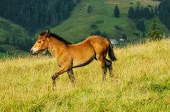 Funny foal Royalty Free Stock Images