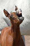 Funny foal portrait Stock Photography