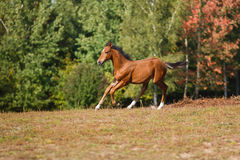 Funny foal running around. Foal running on the meadow at autumn time Stock Image