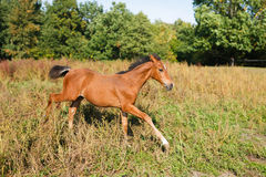 Funny foal running around. Foal running on the meadow at autumn time Stock Photography