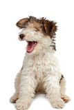 Funny fox terrier puppy Royalty Free Stock Image