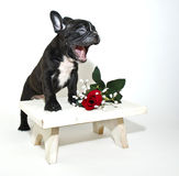 Funny French Bulldog Stock Images