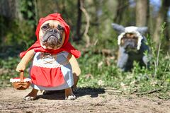 Funny  French Bulldog dogs dressed up with Halloween costume as fairytale character Little Red Riding Hood and Bad Wolf