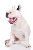 Funny french bulldog Stock Photo