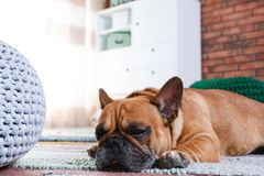 Funny French bulldog lying. On floor indoors royalty free stock image