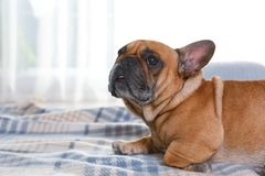 Funny French bulldog lying on plaid. At home stock images