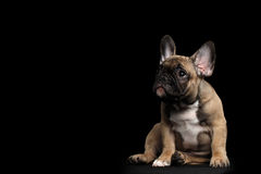 Funny French Bulldog Puppy Cute Sitting, Pity Looking up, Isolated Stock Photos
