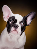 Funny french bulldog puppy Stock Photos
