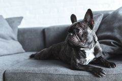 Funny Frenchie dog lying. On grey sofa stock photo