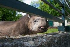 Funny friendly Brazilian tapir. Royalty Free Stock Photo