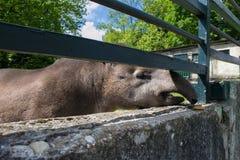 Funny friendly Brazilian tapir. Stock Images