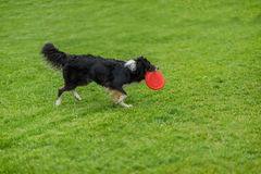 Funny frisbee catch with the owner. Dog carrying red plastic disc walking in the grass at summer park. Happiness in Royalty Free Stock Photography
