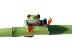 Funny Frog. Red-Eyed Tree Frog with his toes in the air.  Isolated on white background Stock Image