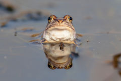 Funny frog head frontal view. Curious head of a Moor frog (Rana arvalis) emerging just above the waterline during mating season in early spring Royalty Free Stock Photos