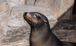 Funny Fur Seal. Is basking in the sun and screwing up his eyes royalty free stock images