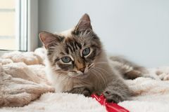 Funny furry cat of seal lynx point color with blue eyes is playing on a pink blanket. Funny furry cat of seal lynx point color with blue eyes is playing on a royalty free stock photo