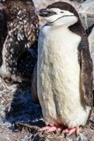 Funny furry gentoo penguin chick standing in front with his floc. K in the background, Burrientos Island, Antarctic
