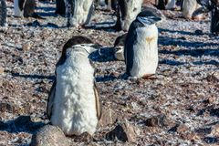 Funny furry gentoo penguin chick standing in front with his floc. K in the background, Half Moon Island, Antarctic