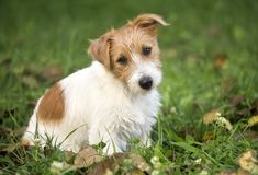 Funny furry happy pet dog puppy waiting for grooming. Funny furry jack russell terrier happy pet puppy sitting in the grass - dog grooming concept stock photo