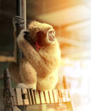 Funny furry monkey royalty free stock images