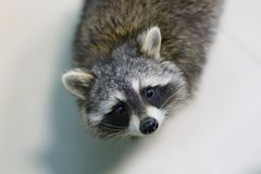 Funny and furry raccoon closeup. The funny and furry raccoon a closeup Stock Photos