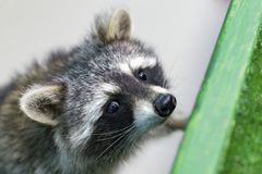 Funny and furry raccoon closeup. The funny and furry raccoon closeup Stock Photo