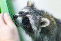 Funny and furry raccoon closeup. The funny and furry raccoon a closeup Stock Photo