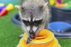 Funny and furry raccoon closeup. The funny and furry raccoon closeup Stock Photos