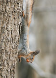 Funny furry squirrel climbing tree with nut in his teeth Royalty Free Stock Photography