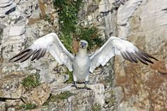 Funny gannet bird. Funny gannet sea bird with outretched wings perched on cliffs Royalty Free Stock Photo