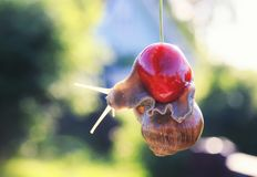 Funny of garden snail hanging on ripe red berry cherries in the Stock Photos