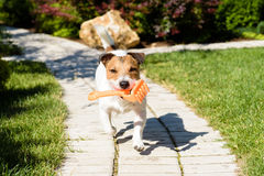 Funny gardener with toy rake on garden tile path. Dog fetching a toy at garden Stock Images