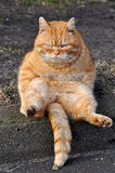 Funny Garfield cat. Funny cat sitting on his back. Similar to Garfield Stock Photo