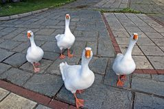 Funny geese Royalty Free Stock Photo