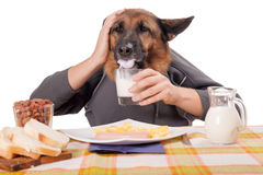 Funny German Shepherd dog with human arms and hands, drinking milk Stock Photo