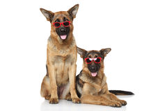 Funny German Shepherd dogs in sunglasses. Funny German Shepherd dogs in red sunglasses on a white background stock image