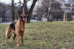 Funny German Shepherd on the grass Stock Photo