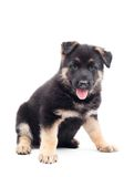 Funny German Shepherd puppy Stock Photography