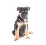 Funny German Shepherd Stock Photos
