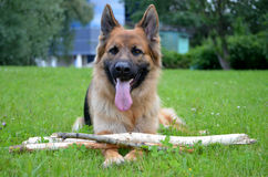 Funny German shepherd with stick Royalty Free Stock Images