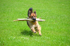 Funny German shepherd with stick Stock Photography