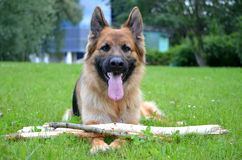 Funny German shepherd with stick Royalty Free Stock Image