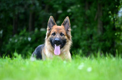 Funny German shepherd Royalty Free Stock Image