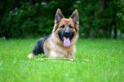 Funny German shepherd Stock Image