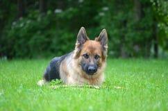 Funny German shepherd Stock Photography